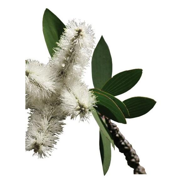 Niaouli feuilles bio HUILE ESSENTIELLE