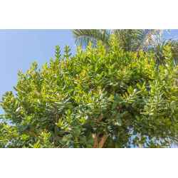 Ravintsara feuilles bio HUILE ESSENTIELLE