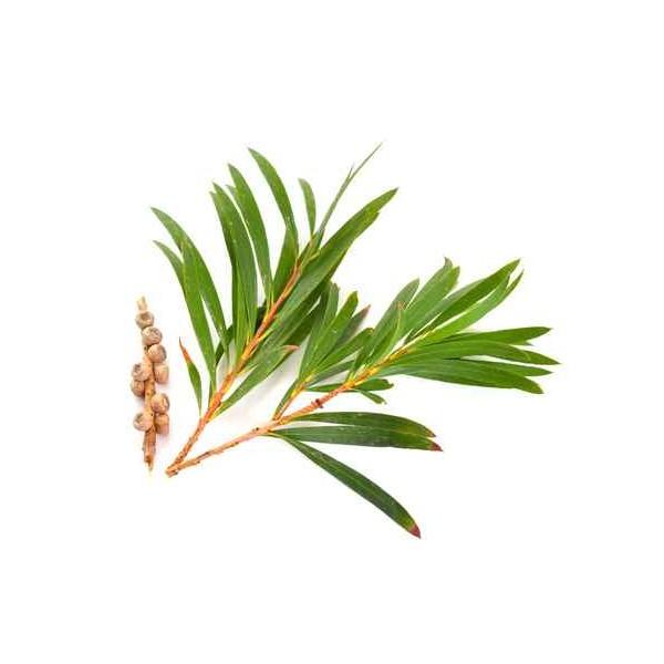 Tea Tree bio (arbre à thé) HUILE ESSENTIELLE
